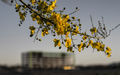 Tempe_Palo_Verde_Tree_Blossom_Construction_01.jpg