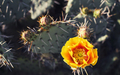 A_Different_Spring_Nopal_Prickly_Pear_Cactus_Yellow_Blossom.jpg