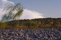 Tree_in_the_wind_rocky_beach_1.jpg