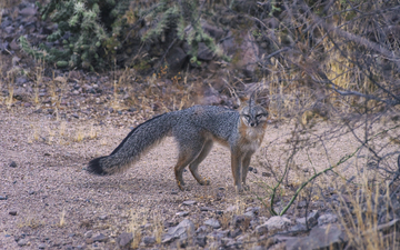 Tempe_Mid_October_Coyote_in_the_City.jpg