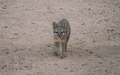 Tempe_Mid_October_Coyote_in_the_City_2.jpg