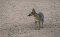 Tempe_Mid_October_Coyote_in_the_City_3.jpg