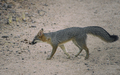 Tempe_Mid_October_Coyote_in_the_City_4.jpg